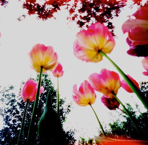 Day 107 _  tulips | by Daniel Nowak