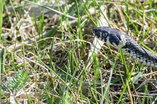 Grass snake | by Joakim Östberg