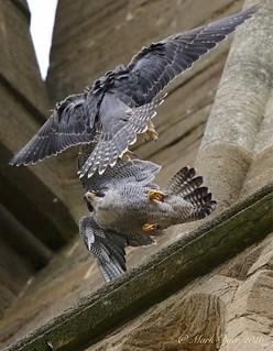 Peregrines ( Falco peregrinus). Exeter.