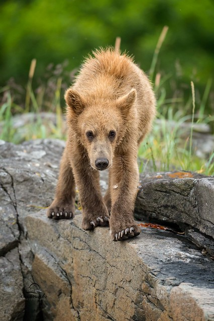 Brown Bear on the Edge