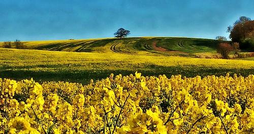 sea landscape spring fields warwickshire oilseedrape greenandgold