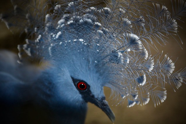 Victoria crowned pigeon (Pigeon couronné occidental)