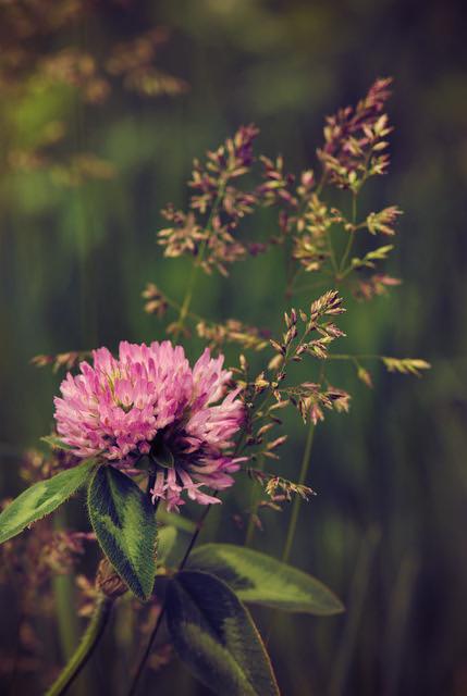 Clover and Grass