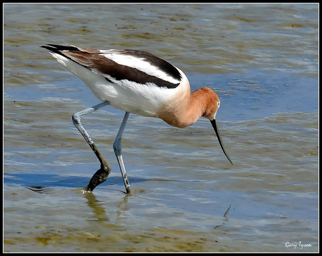 American Avocet on San Francisco Bay