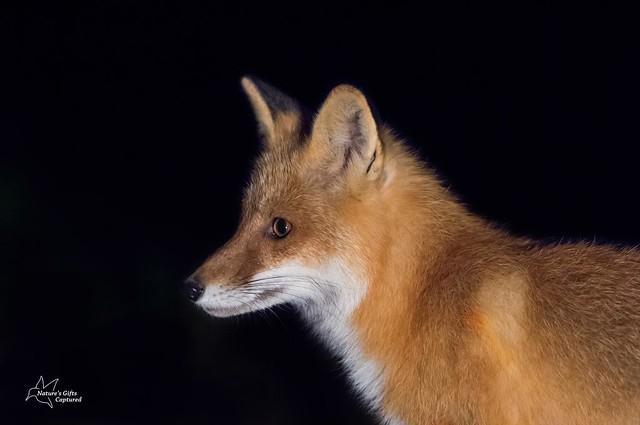 Red Fox Profile