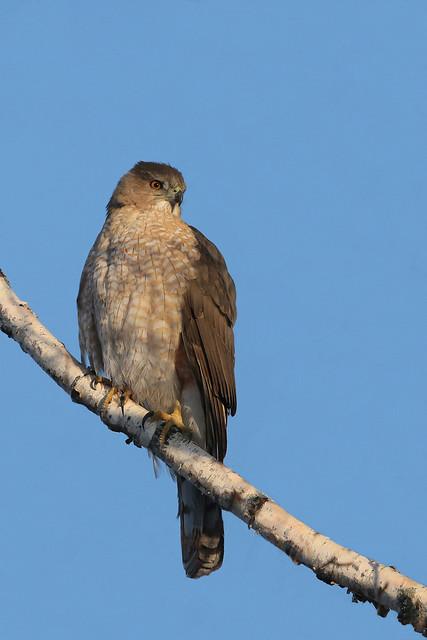 épervier de cooper / Cooper's hawk female
