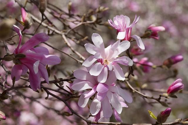 木, 2015-04-16 13:07 - Brooklyn Botanic Garden