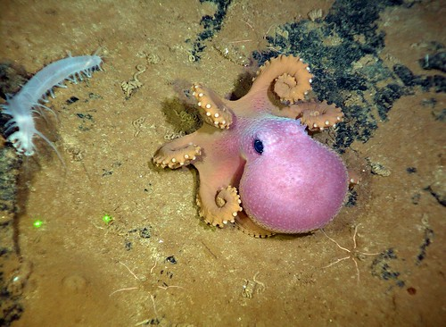Octopus and Holothurioid | by Ocean Networks Canada