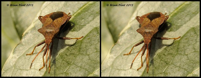 Brown coloured shieldbug - 3d cross-view