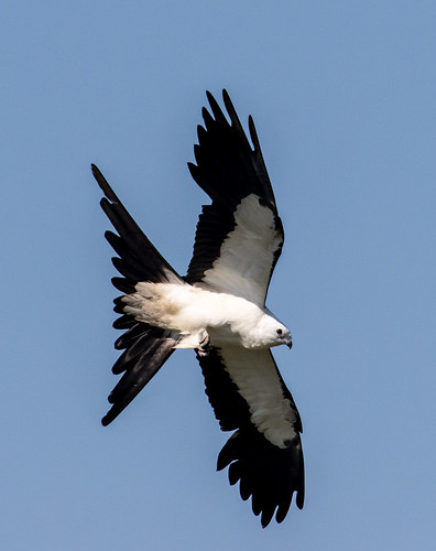 birds kites