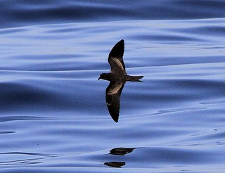 Black Storm Petrel | by Trishrg