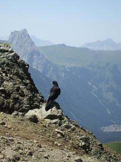Cuervo en La Marmolada (Italia)