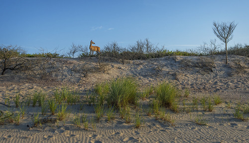davispark beach sanddune deer wildlife brush vegetation sunrise barrierbeach nature