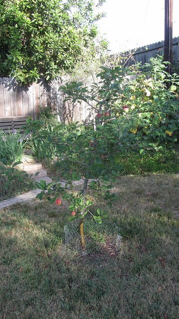 IMG_0969 Goleta dorsett golden apple tree