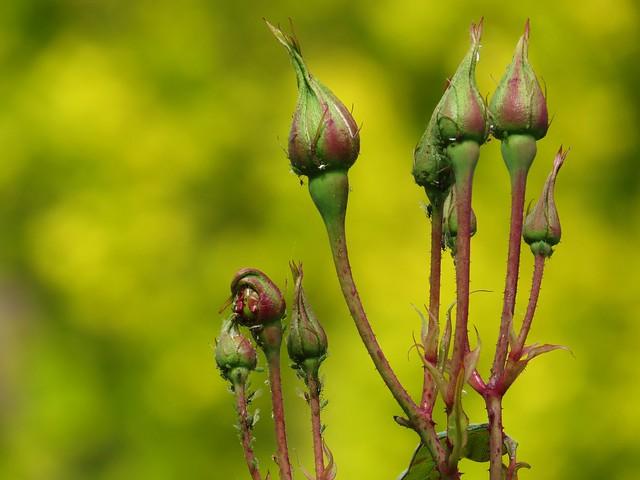 greenfly on rosebuds