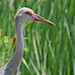 Flickr photo 'Sandhill Crane (Grus canadensis)' by: Mary Keim.