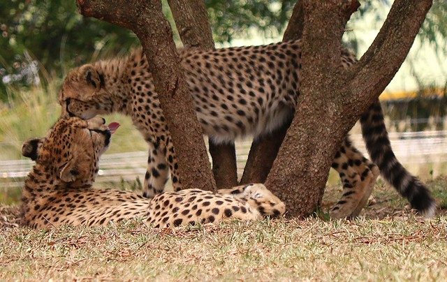 Cheetah - Addison and 6 pack of cubs