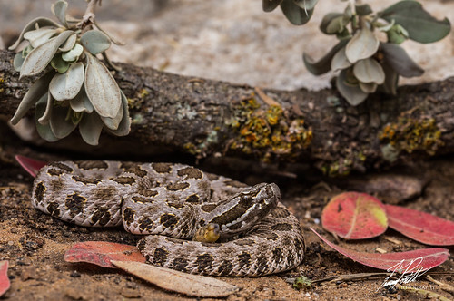 Desert Massasauga | by Frank Portillo