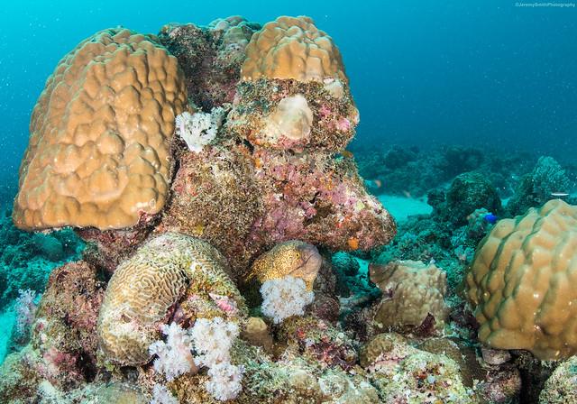 Yellow-edged Moray, Gymnothorax flavimarginatus, Grand Baie, Mauritius