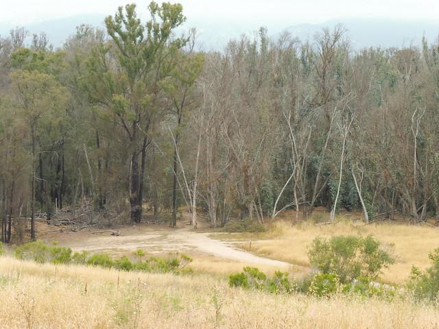 P1040178 Ellwood mesa Eucalyptus trees dying