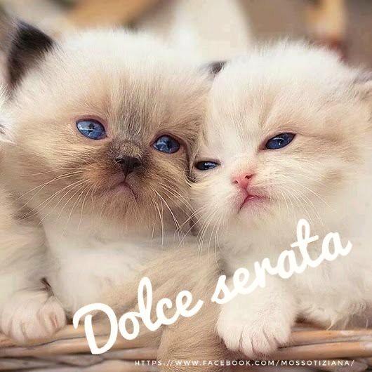 Buona Serata Dolce Love Cat Kitten Gatti Siamesi Flickr