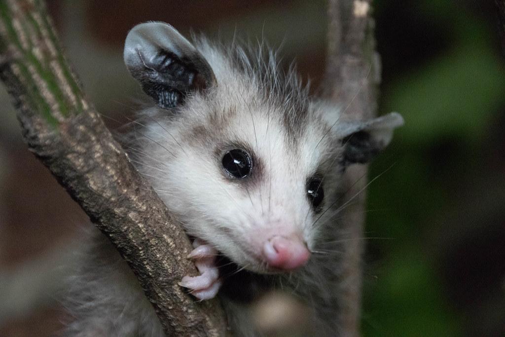 Baby Possum   A baby possum in my backyard.   Rob Bender ...