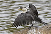 Little Pied Cormorant 2015-03-07 (_MG_1673) by ajhaysom