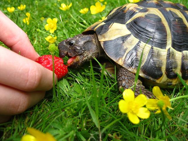 Leo und die Erdbeere  (23.05.2015 ist Weltschildkrötentag)