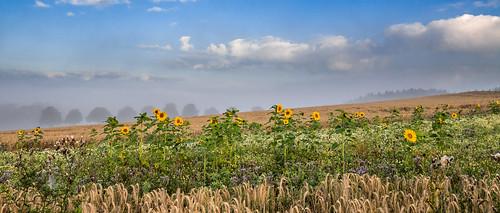 canon eos 70d rural sunflower flower flowers fiels crop outdoor landscape field trees fog foggy misty clouds sunny summer sauerland nrw germany