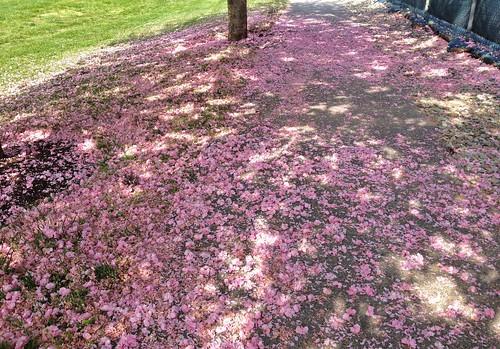 trees petals blossoms maryland paths kwanzancherry 4spring dappledlight owingsmills garrisonforest baltimoreco cmwdpink