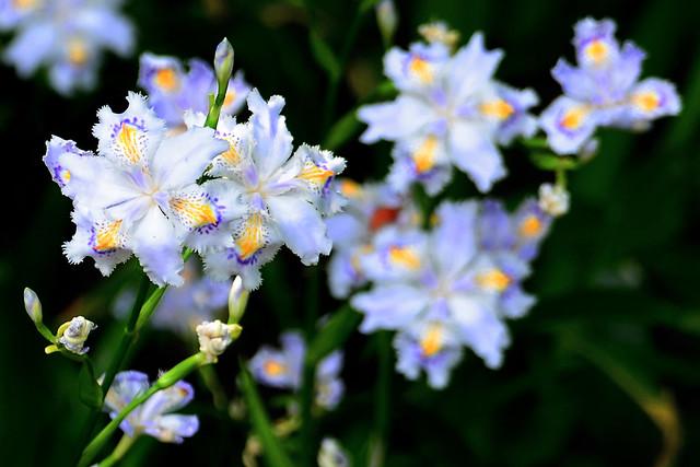 Iris Japonica (Fringed Iris) : シャガ (射干, 著莪, 胡蝶花)