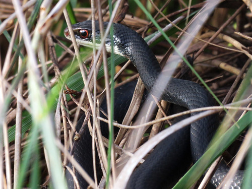 Southern Black Racer (Coluber constrictor priapus) | by magnificentfrigatebird