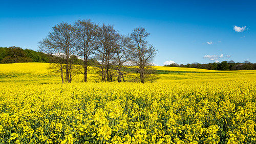 blue trees field yellow skåne spring sweden outdoor sunny raps canola rapeseed 2015