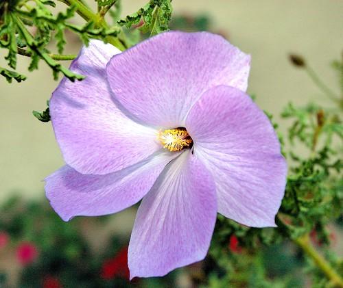 purpleflower buckeye az usa nikon nikond70s nikondslrcamera hibiscus roseofsharon verrado nikonafsnikkor1870mmf3545gdxlens nikonhb32lenshood hoyahmcsuper67mmskylight1bfilter macroflowerlover chinesehibiscus