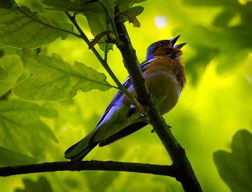 Singing chaffinch | by hedera.baltica