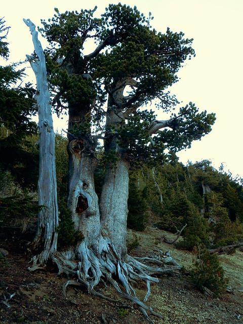 White-bark Pine