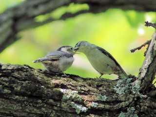 White-breasted Nuthatch fledgling 3-20150521 | by Kenneth Cole Schneider