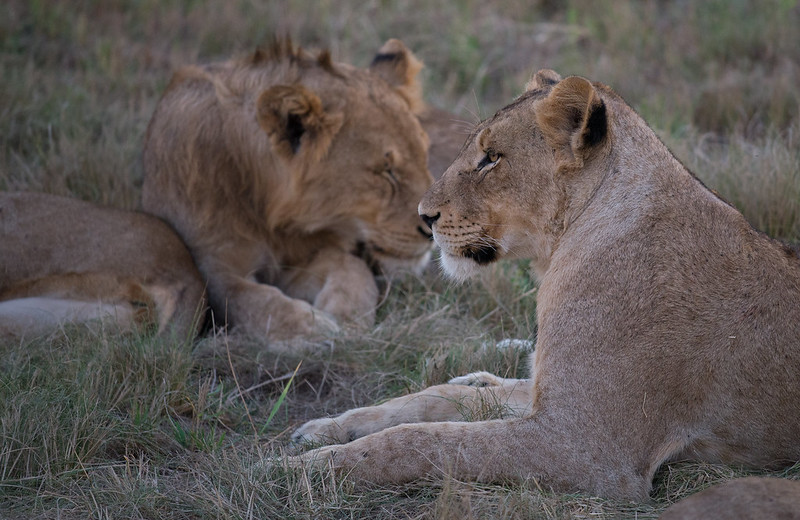 Lioness and young male