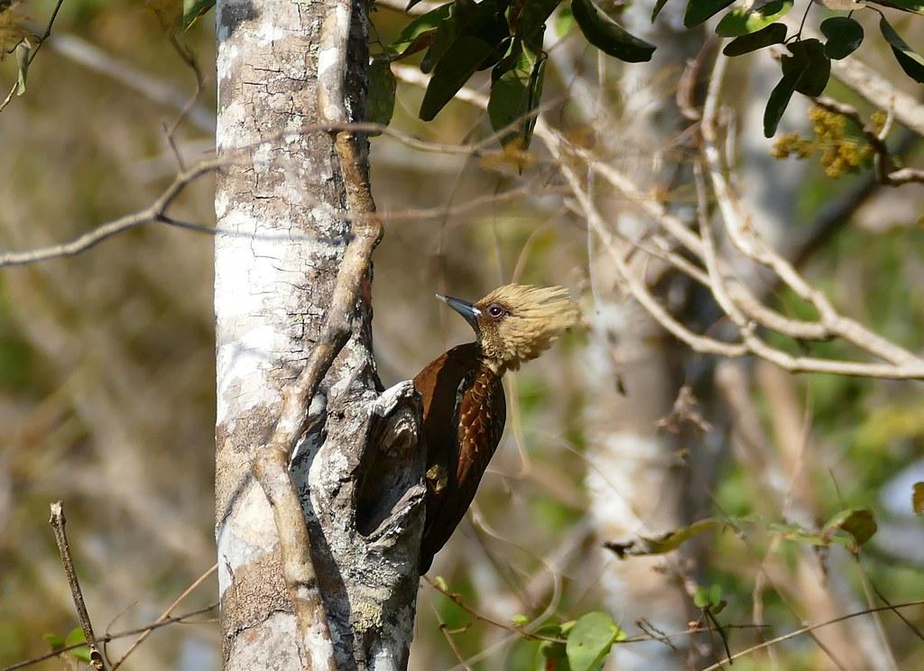 Pale-crested Woodpecker (Celeus lugubris) female