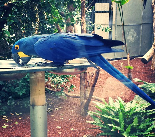 Ara bleu   by quentel
