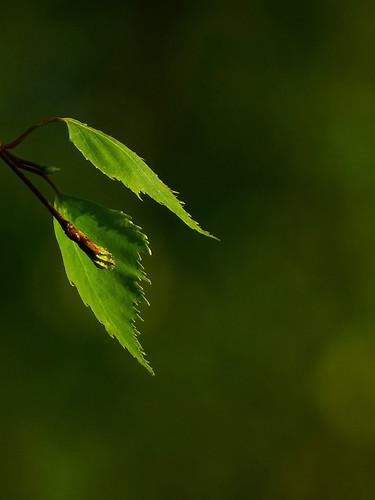 sunset tree green nature closeup spring sony latvia sunlit leafs lettland aluksne latvija pavasaris daba lapas lettonie zaļš saulriets alūksne hx400v