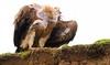 Juvenile Himalayan Vulture, Tibet 2014 by reurinkjan