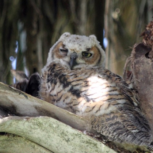 Baby horned owl at Sabal Palm Sanctuary | by j.d.campbell
