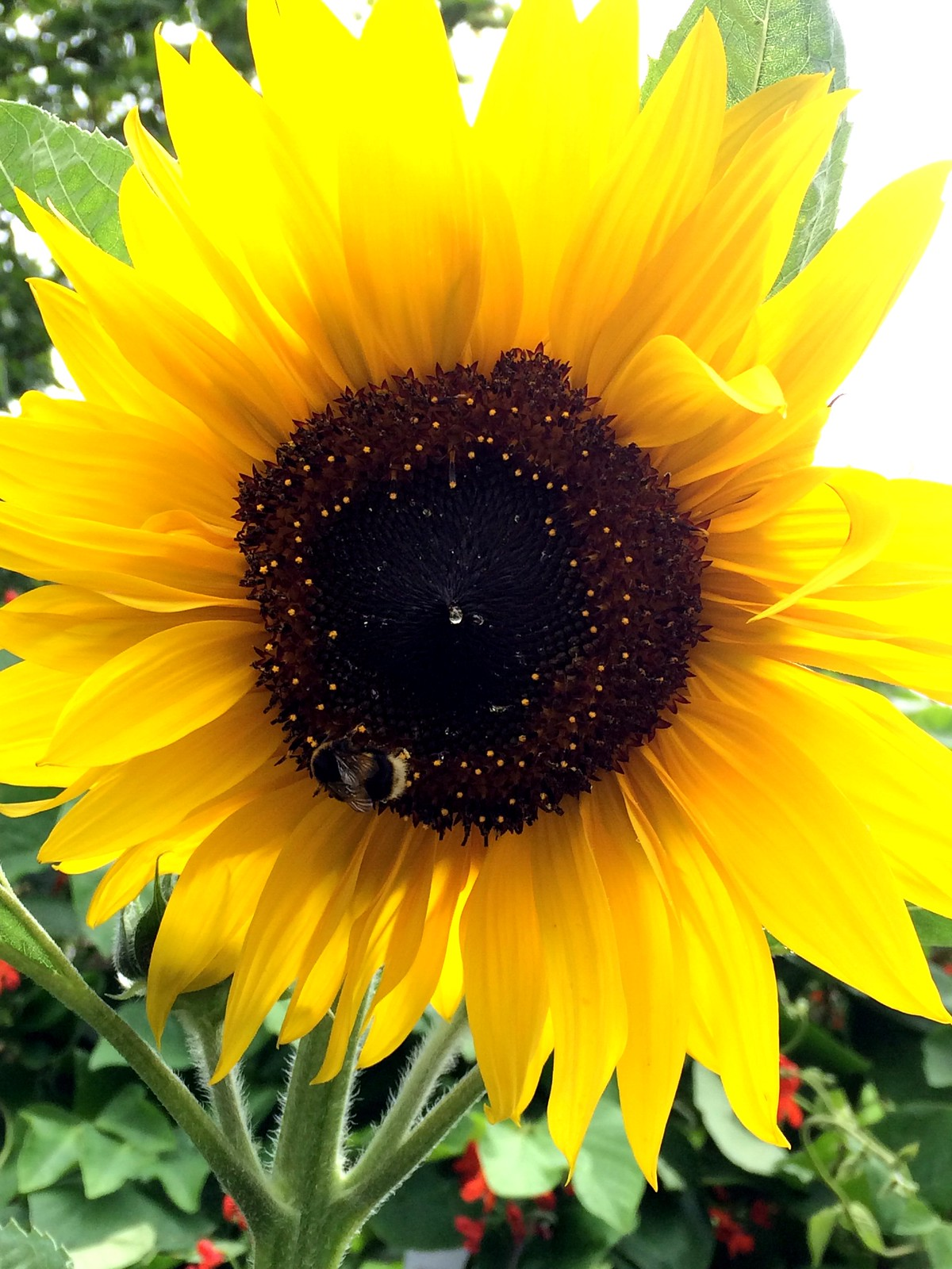 August 20, 2016: Glynde to Seaford Alfriston sunflower & bee