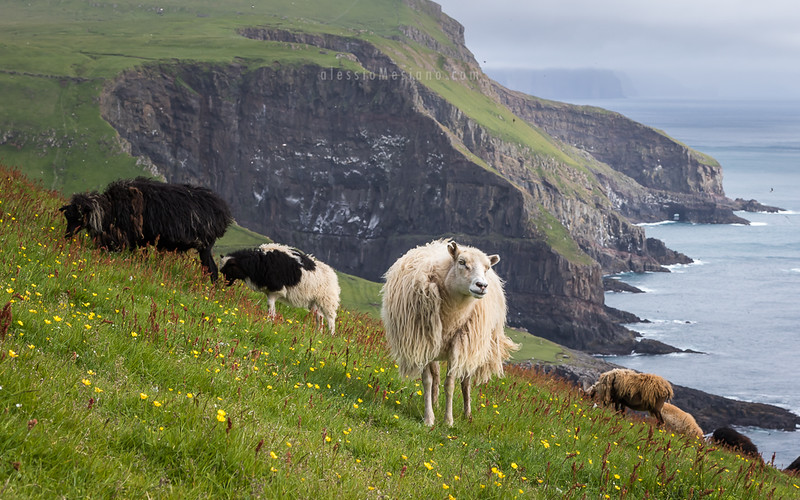 Sheep in Mykines