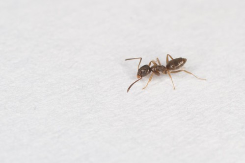 Odorous house ant   by brian.gratwicke