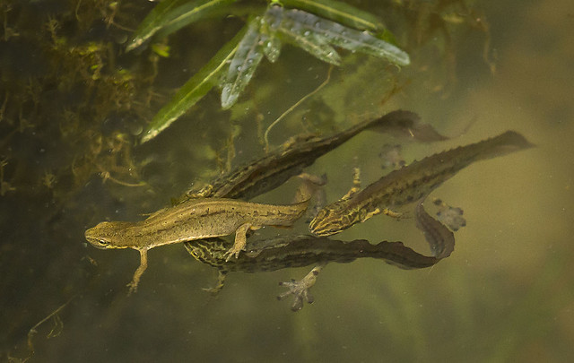 Newts-massing_4412