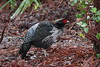 Kalij Pheasant (Male) by blueeyes_inoki