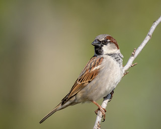 House Sparrow (m), Breeding Plumage | by Becky Matsubara