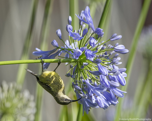 Bronzy Sunbird, Nectarinia kilimensis, Vumba Botanical Gardens, Mutare, Zimbabwe